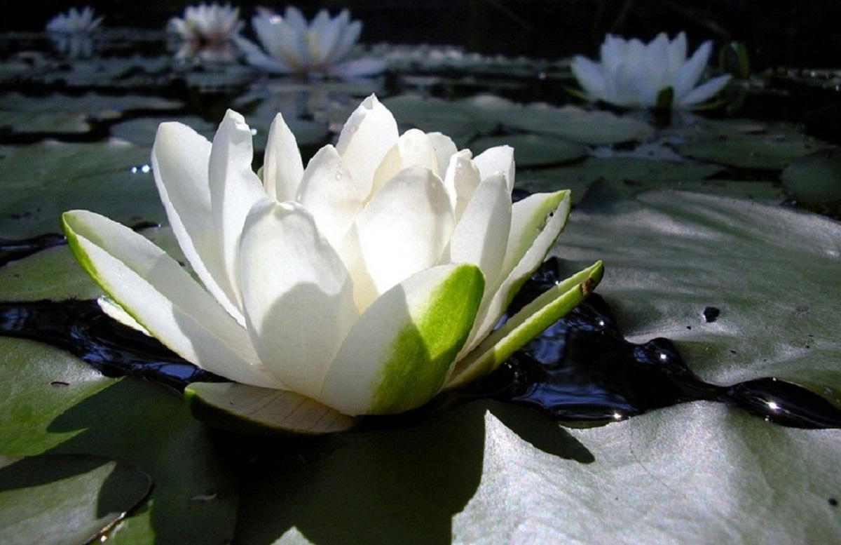 Symbolism of the lotus flower archives omraam words of light all posts tagged symbolism of the lotus flower izmirmasajfo